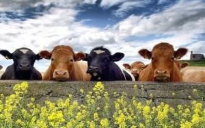 30135898_gas-serra-il-74-delle-emissioni-mondiali-causato-dai-bovini-0